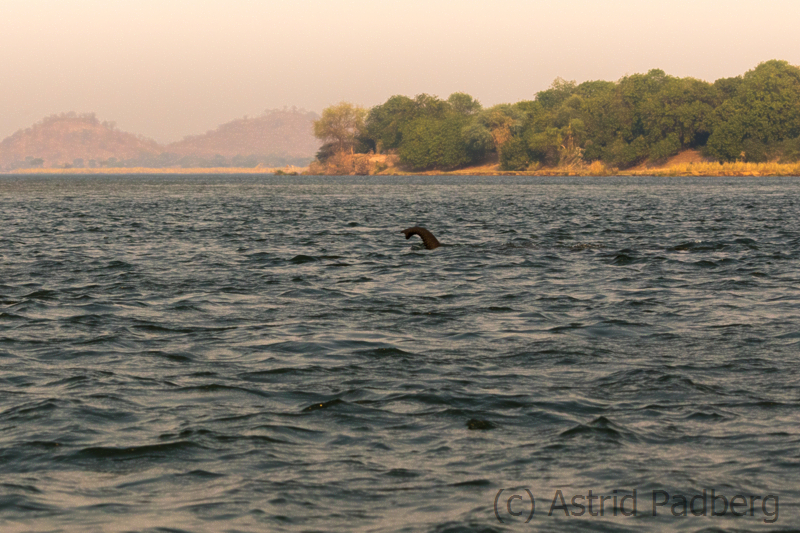 Im Sambesi schwimmender Elefant