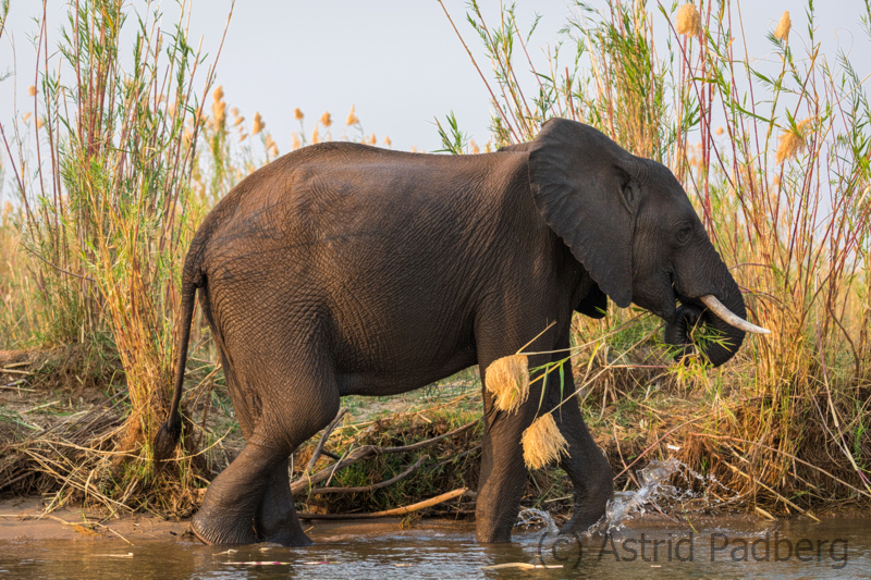 Elefant auf Sambesi-Insel