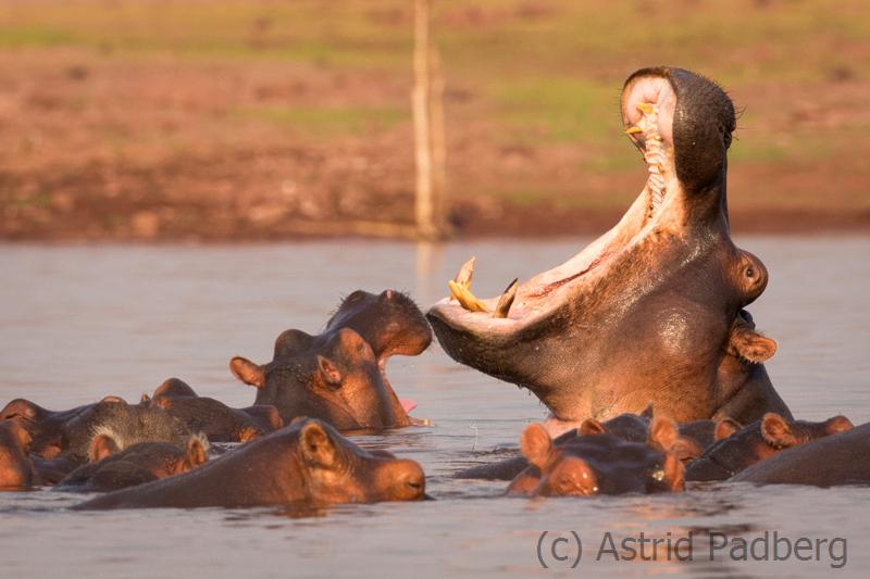Drohgebärde eines Flusspferdes