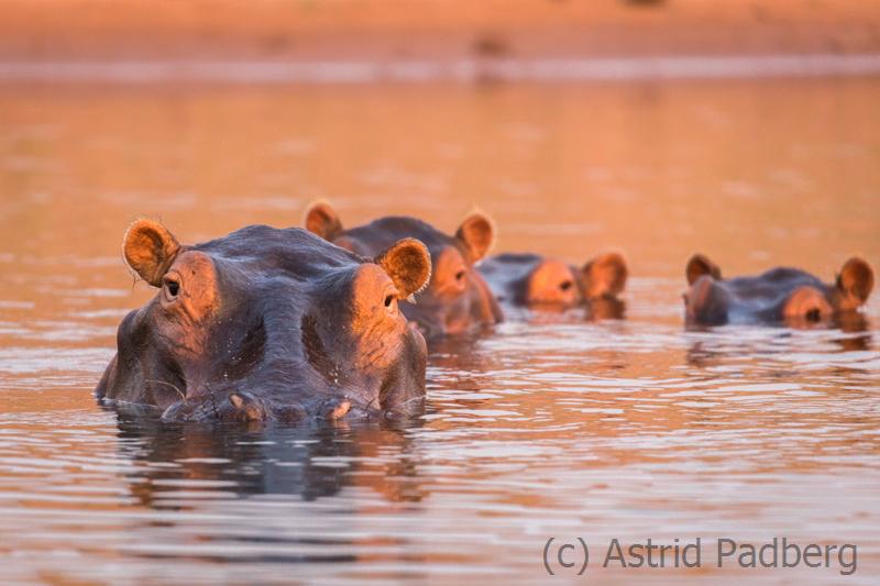 Flusspferde bei Sonnenuntergang