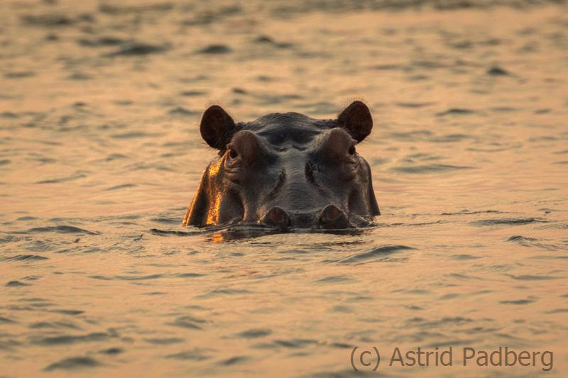 Flusspferd bei Sonnenuntergang