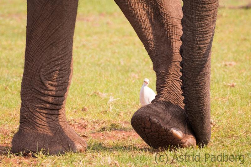 Reiher zu Füßen eines Elefanten