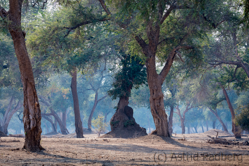 "Der ""blaue"" Wald, Mana Pools Nationalpark"