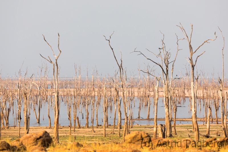 Der ertrunkene Wald am Ufer des Karbasees
