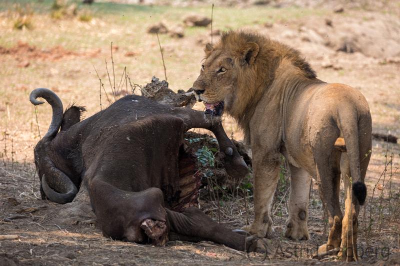 Löwe mit gerissenem Büffel
