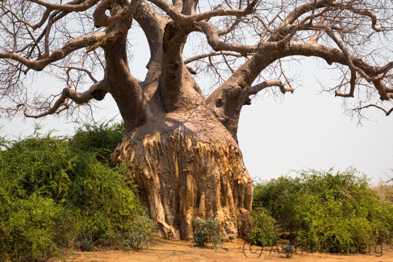 Baobab mit von Elefanten geschälter Rinde
