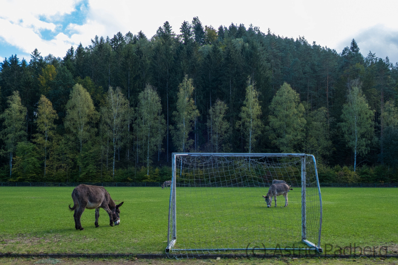 Esel bei Nutzung eines Sportplatzes in der Bildungsstätte Heilsbach