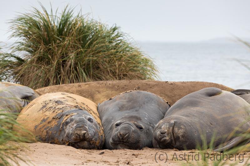 Schlafende See-Elefanten