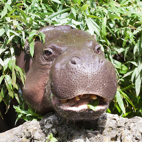 Zwergflusspferd-pygmy-hippopotamus-Choeropsis-liberiensis-Hexaprotodon-liberiensis