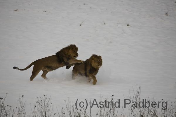 Löwen im Schnee, Zoo Wuppertal