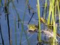 Teichfrosch  oder Wasserfrosch