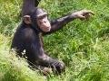 Gemeiner Schimpanse