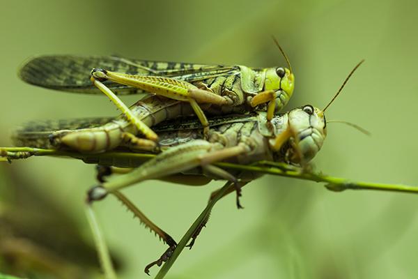 Wanderheuschrecke; short-horned grasshoppers; locust