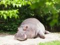 Flusspferd; hippopotamus; Hippopotamus amphibius