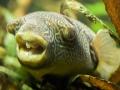 Kongo-Kugelfisch; Tetraodon miurus
