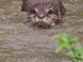 Zwergotter; oriental small-clawed otter; Amblonyx cinerea