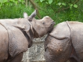 Panzernaßhorn; Indian rhinoceros; Rhinoceros unicornis