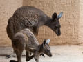 Westliches Graues Riesenkänguru; western grey kangaroo; Macropus fuliginosus