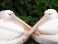 Rosa Pelikan; great white pelican; Pelecanus onocrotalus