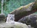Schneeleopard; snow leopard; Panthera uncia syn. Uncia uncia