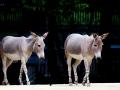 Somali-Esel; African wild ass; African wild donkey; Equus africanus