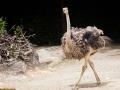 Strauß; common ostrich; Struthio camelus