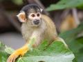 Totenkopfäffchen; Squirrel monkeys; Saimiri