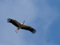 Weißstorch; white stork; Ciconia ciconia