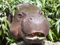 Zwergflusspferd; pygmy hippopotamus; Choeropsis liberiensis; Hexaprotodon liberiensis