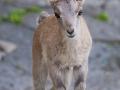 Alpensteinbock; Alpine ibex; Capra ibex