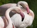 Rosa Flamingo; Greater flamingo; Phoenicopterus ruber roseus