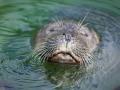 Seehunde; common seal; Phoca vitulina vitulina