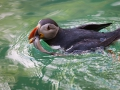Papageitaucher; Atlantic puffin; Fratercula arctica