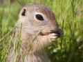 Europäisches Ziesel; European ground squirrel; Spermophilus citellus