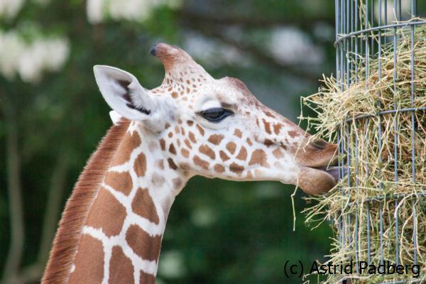 Netzgiraffe; Giraffa camelopardalis reticulata; Reticulated Giraffe