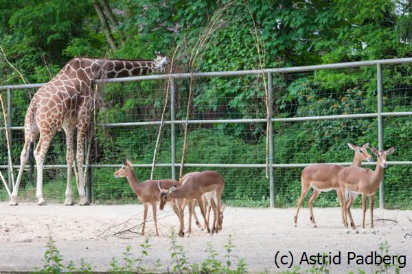 Impala; Aepyceros melampus; Impala