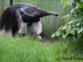 Großer Ameisenbär; Myrmecophaga tridactyla; Giant Anteater