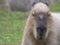 Wasserschwein; Hydrochaeris hydrochaeris; Capybara