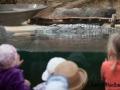 Nilkrokodil; Crocodylus niloticus; Nile Crocodile