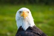 Weißkopfseeadler, Adlerwarte Detmold