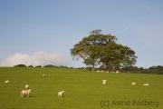 Schafe zwischen Beaumaris und Benllech
