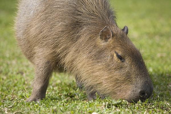 Capybara, Wasserschwein, Hydrochoerus hydrochaeris