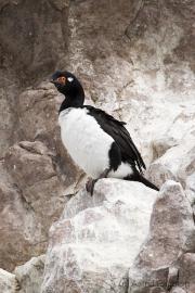 Felsenkormoran, Rock Cormorant, phalacrocorax magellanicus