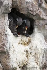 Buntscharbe, Cormoran Gris, Red-legged cormorant