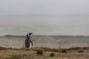 Magellanpinguin, Carcass Island