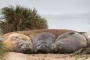 Seeelefanten, Carcass Island