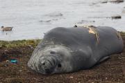 Seeelefant, Carcass Island