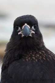 Falklandkarakara