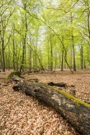 Darßer Wald