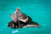 Zoo Duisburg Kalifornischer Seelöwe